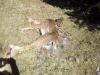 dead deer removal
