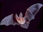 Bat Removal Heathcote  NY