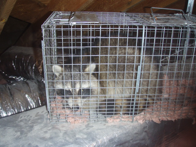 Raccoon removal Newburgh  New York