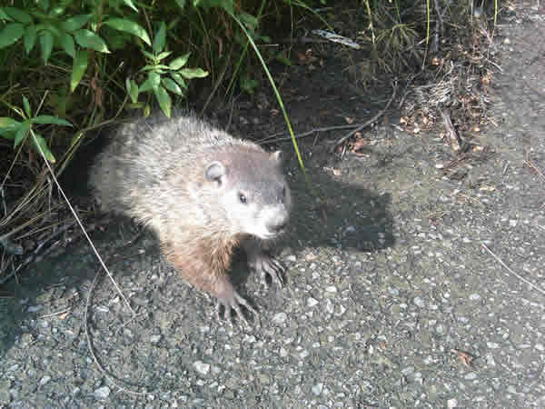 Woodchuck removal Orange County NY - Wildlife Busters