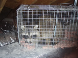 animal trapping raccoon
