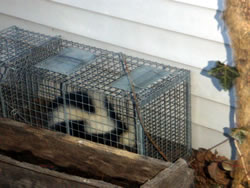 animal trapping skunk
