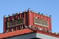 Dallas Commercial Bird Control Pigeons on Ledging