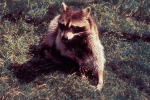 Rabies, Rabies Wildlife, Rabies Dogs
