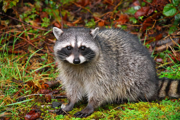 Raccoon information and facts wildlife busters for Do raccoons eat fish