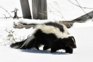 skunks facts and skunk information