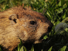 Woodchucks aka Groundhogs - Wildlife Busters