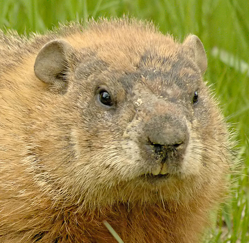 woodchuck ground hogs information wildlife busters