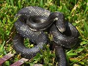Snake removal , New York