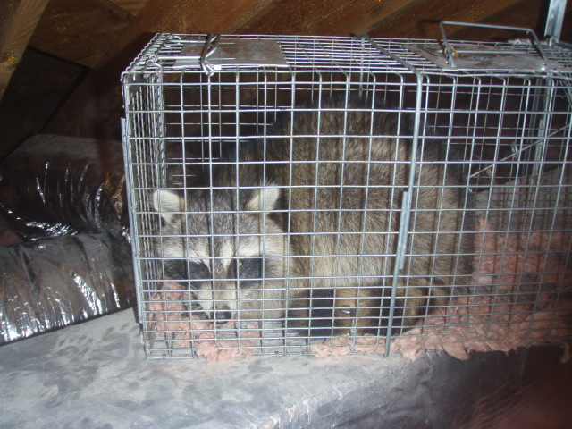 Animal Trapping Raccoon.
