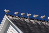 seagulls control