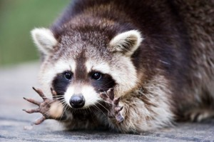 Raccoon ready to catch food