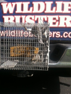 gray-squirrel-trapped